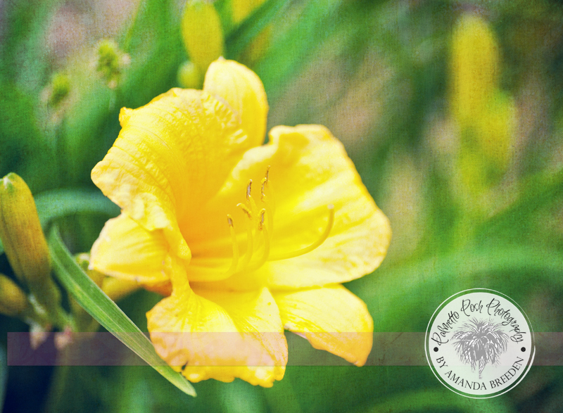 day lily photograph, day lily, yellow day lily, flower photography